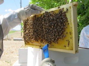 Difference Between Bee Robbers and Swarming – 5/23/12