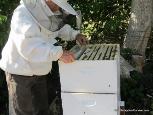 Inspecting the hive.  This is Hive 2 with the super ambitious bees.