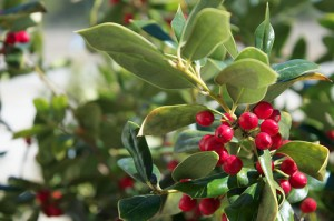 Holly Berries photo by ArturoYee