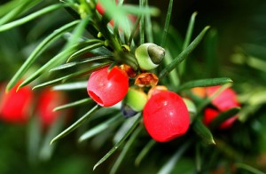Yew Berries photo by Muffet