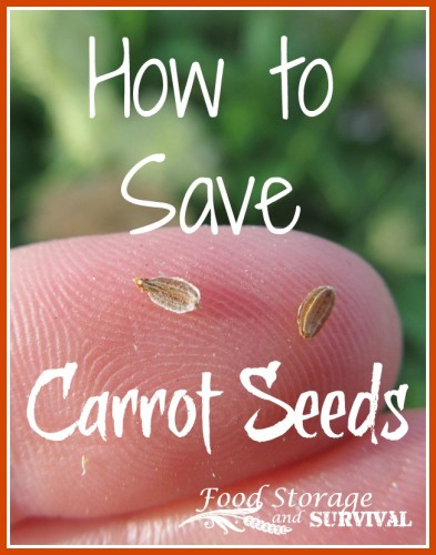 How to save carrot seeds!  Super easy two year process, fully illustrated!
