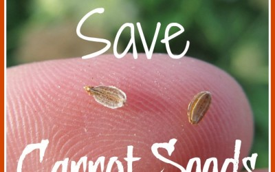 How to Save Carrot Seeds