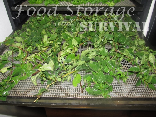 Drying herbs in a dehydrator--Food Storage and Survival