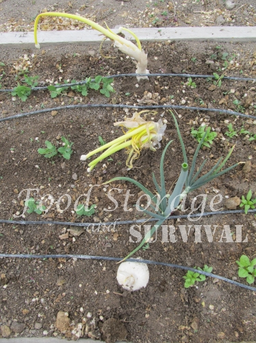 How to Save Onion Seeds!  Food Storage and Survival