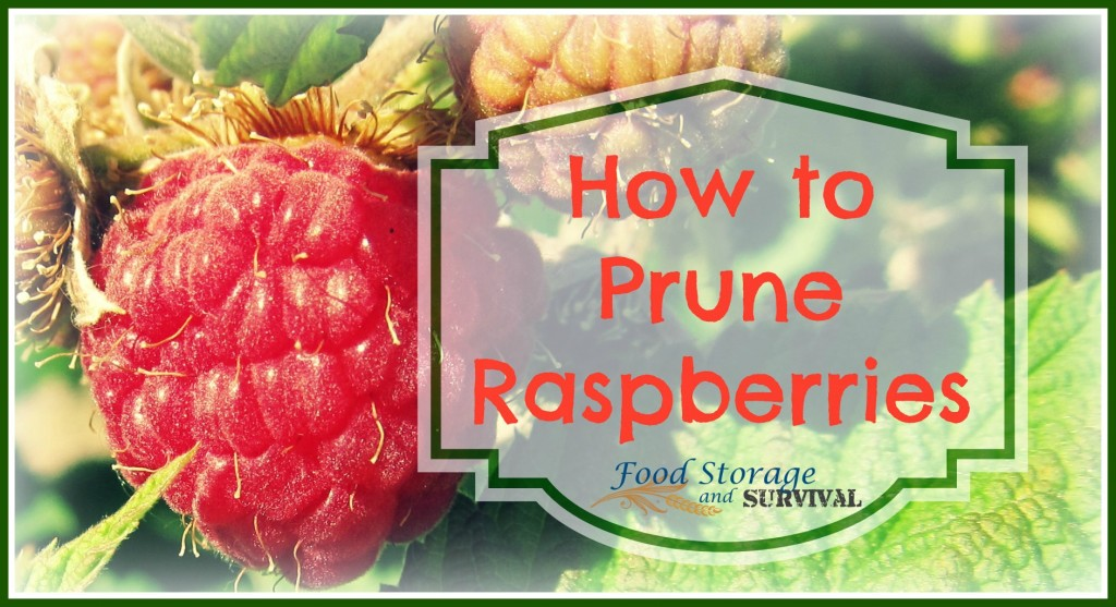 How to Prune Summer Bearing Raspberries--Food Storage and Survival