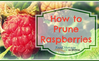 How to Prune Summer Bearing Raspberries