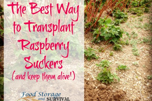 The Best Way to Transplant Raspberry Suckers (and Keep them Alive!)