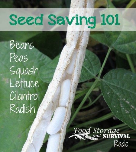 Seed Saving 101: Beans, Peas, Squash, Lettuce, Cilantro, Radish - Food Storage and Survival Radio