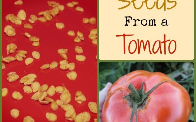 How to Save Seeds From a Tomato