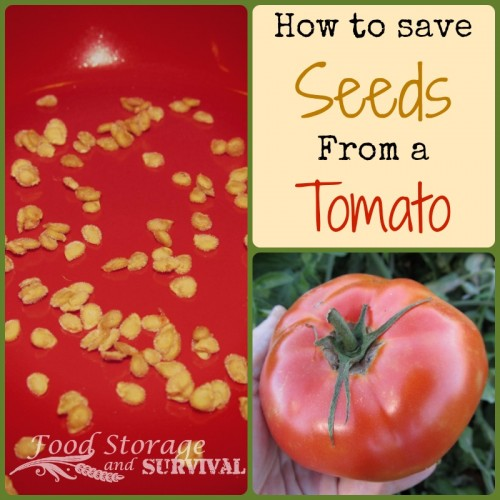 How to save seeds from a tomato--Food Storage and Survival